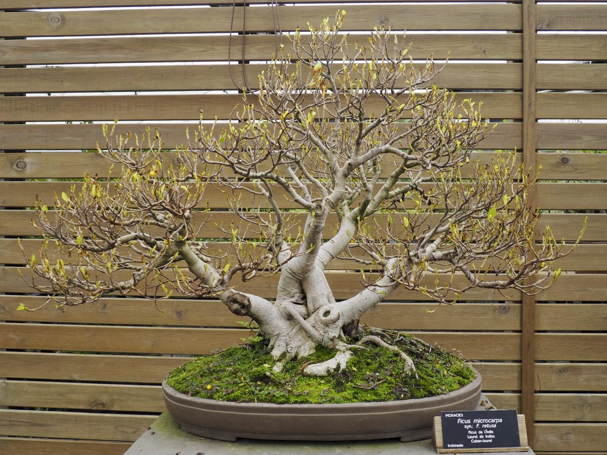 Laurel de Indias en el Jardín Botánico de Barcelona